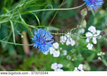 Centaurea Cyanus Or Blue Cornflower In An Uncultivated Meadow In Springtime