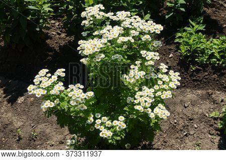 Florescence Of Tanacetum Parthenium In Mid June