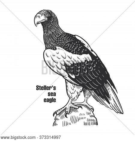 Steller's Sea Eagle. Predatory Bird. Black Sketch Of Animal On A White Background. Vintage Engraving