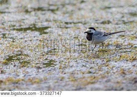 White Wagtail - Motacilla Alba, Small Popular Passerine Bird From European Fileds, Meadows And Wetla