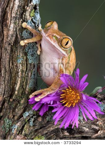 Tree Frog With Aster