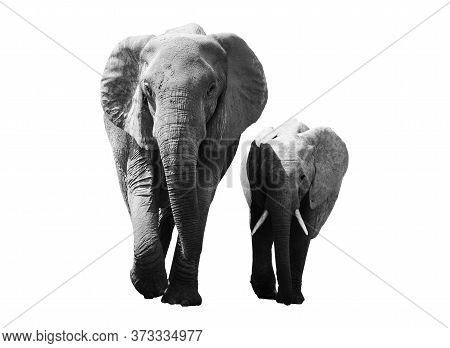 Black And White Portrait Of An African Elephant On A White Background. Wild Animal