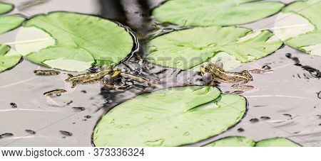 Two Frogs In The Pond Water With Plants. Close Up.