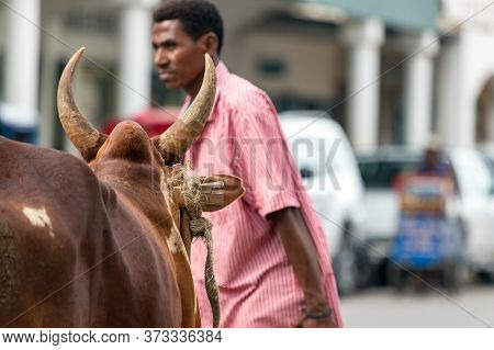 Toliara, Madagascar - January 10th, 2019: The Head Of An Ox Looking A Local Man Crossing The Street