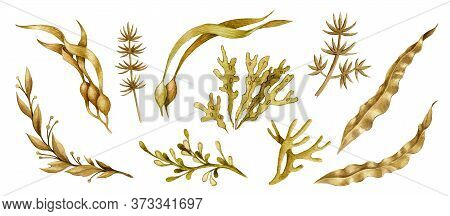 Seaweed Hand Drawn Watercolor Collection. Spirulina, Laminaria, Weed Elements. Organic Underwater Pl
