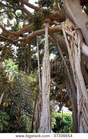 Ficus Macrophylla in the Villa Garibaldi of Palermo in Sicily