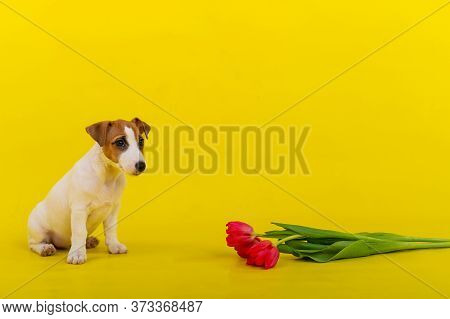 An Obedient Dog Sits Next To A Bunch Of Red Tulips In The Studio On A Yellow Background. Romantic Pu
