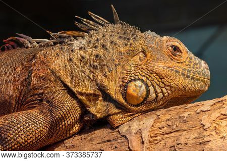 Close Up Portrait Of An Iguana In Captivity