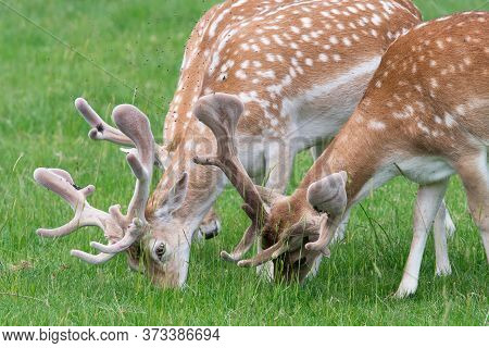 Fallow Deer (dama Dama) Bucks Grazing In A Meadow
