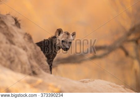 Hyena Pup Coming Out Of The Den Early In The Morning In The Warm Light Of The Sunrise In A Game Rese