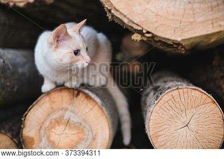 Rustic White Cat Lies On Logs With Shallow Depth Of Field