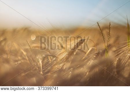 Wheat Close-up On A Blurry Background In Sunlight. Wheat Field. Maturing Ears Of Wheat. The Concept
