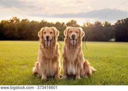 Pair Of Purebred Golden Retriever Dogs Outdoors On Grassy Meadow During Golden Hour At Sunset
