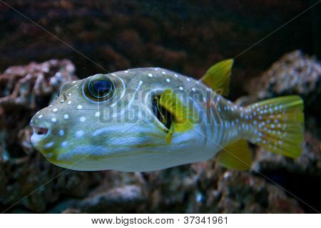 The White-Spotted puffer fish