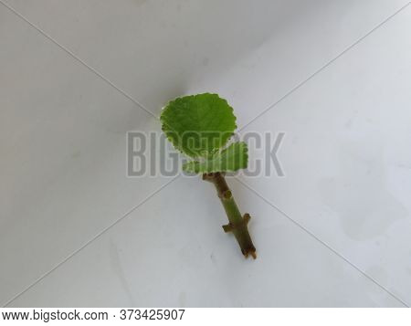 Young Mexican Mint Branch And Leaves Isolated In A White Background