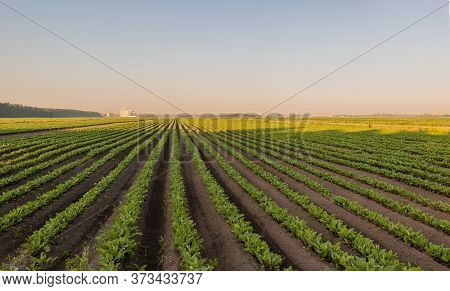 Sugar Beet Crops Field, Agricultural Landscape. A Field Of Beets At Dawn, With Several High-rise Bui