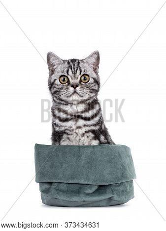 Cute Junior Silver Tabby British Shorthair Cat, Sitting Facing Front In Green Velvet Bag. Looking St