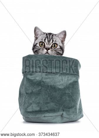 Cute Junior Silver Tabby British Shorthair Cat, Sitting In And Peeping Over Edge Of High Green Velve