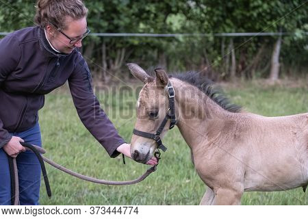 Cute Yellow Newborn Colt With Halter, Standing In Grass On A Spring Day. Woman Next To The Stallion