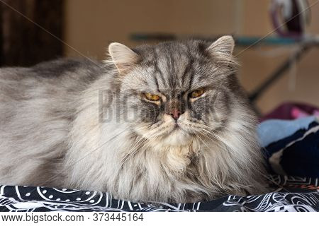 A Furry Scottish Cat With Orange Eyes Looks Directly At The Camera. A Sleepy, Serious Look. Portrait