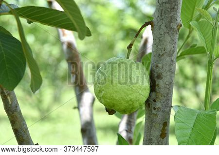 Organic Guava Fruit. Green Guava Fruit Hanging On Tree In Agriculture Farm Of Thailand In Harvesting