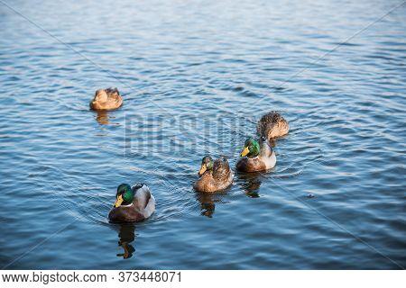 Ducks At Lake Outdoor, Life Of Birds, Birdwatching