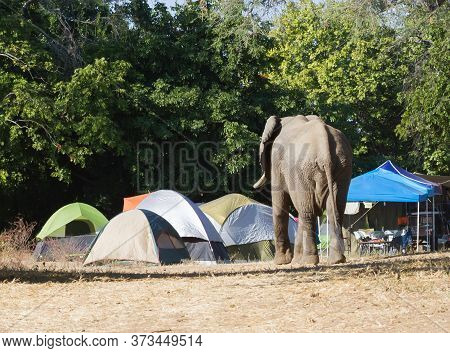 A Curious Elephant In The Nyamepi Campsite Looking At The Tents In Mana Pools National Park Zimbabwe