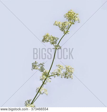 One Stalk Of White Bedstraw Close-up Isolated On A Gray Background. Honey Meadow Plant With Inflores