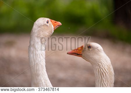 Two Heads Of White Goose Touching, Looking At Each Other. Summer Day At The River. Goose Are Known F