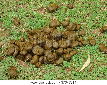 Fresh Horse Dung On Ground