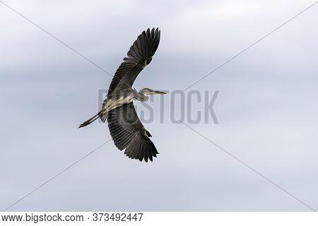 Agrey Heron (ardea Cinerea) In Bird Sanctuary, On Lake Kerkini, Greece