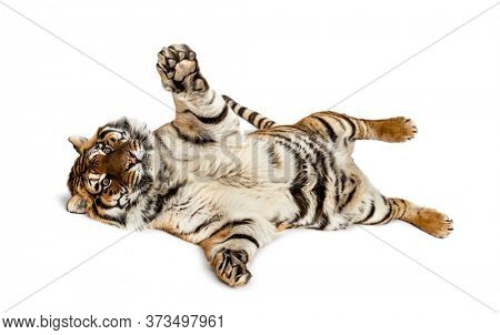 Tiger playing on its back, isolated on white