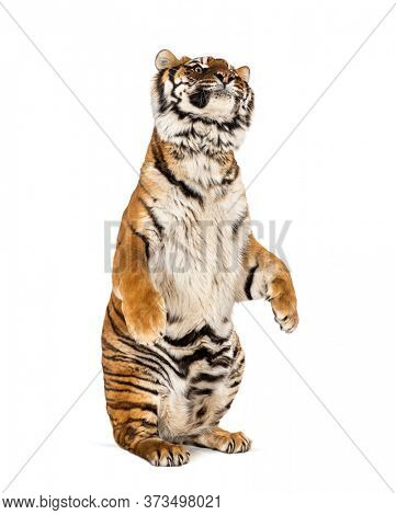 Tiger on hind legs, isolated on white