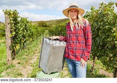 Woman as harvesting assistant or winemaker trainee in the vineyard during the wine harvest