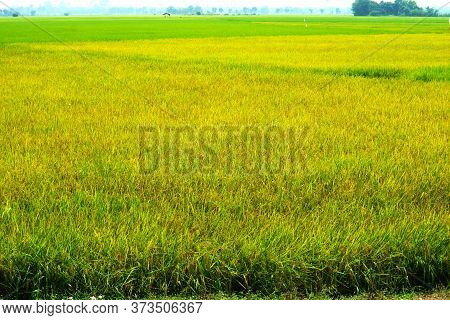 Agriculture Jasmine Rice Farm And Soft Fog In Morning Sky White Cloud Background