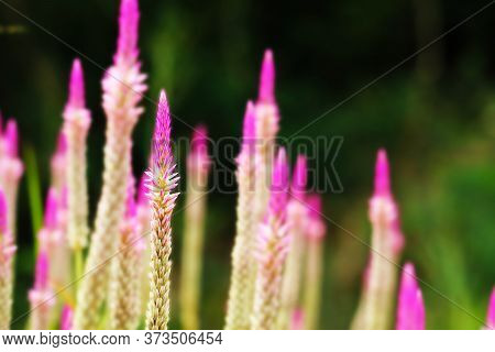 Chainese Wool Flower Magenta Color Is An Herb With Many Properties