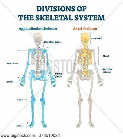 Divisions Of Appendicular And Axial Skeletal System Labeled Explanation. Anatomical Human Inside Bon