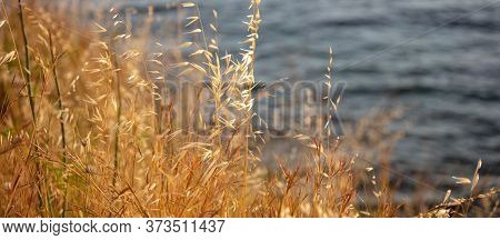 The Common Wild Oat, The Avena Fatua, Considered As Grass. Golden Dry Plant Of Poaceae Family Is A N