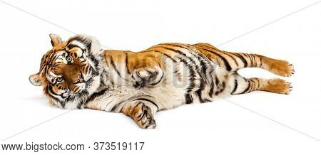 Tiger lying down on its back isolated on white