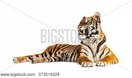 Tiger lying down showing its teeth, isolated on white