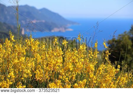 Corfu Island Landscape - View From Kaiser's Throne Overlook. Greece Nature. Dyer's Broom Flowers.