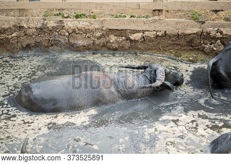 Asia Thailand Buffalo Are Relaxing And Swimming In The Swamp With Muddy All Their Body In The Mid Da