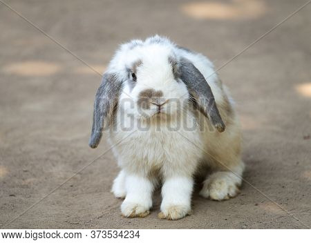 Cute Little Rabbit With Long Floppy Ears Standing On The Ground. Selective Focusing. A Lop-eared Rab