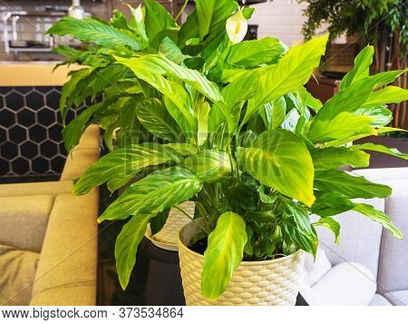 Spathiphyllum Plant With Green Leaves In A Light Pot Stands In The Room. Closeup Photo