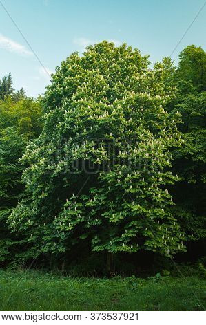 Vertical Folk And Moody Photo Of Green Tree Buckeye (chestnut) In Forest On Dark Background. Bloomin