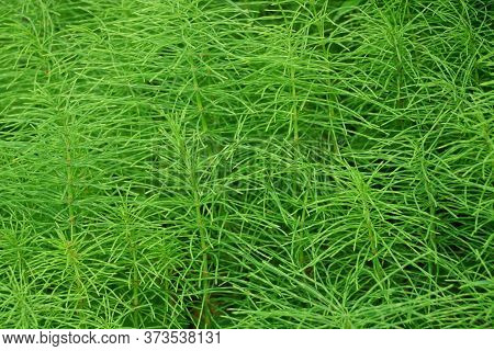 Green Natural Plant Texture Of Green Wild Plants Field Horsetail