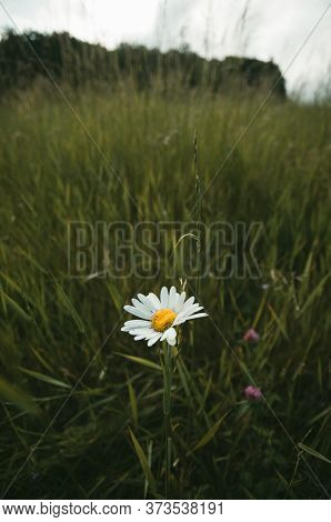 Oxeye Daisy In The Meadow With Forest On Background. Photo Of Single Leucanthemum Vulgare - Flower A
