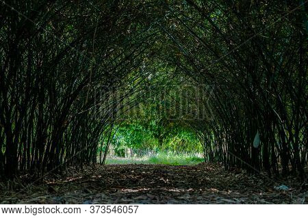 Real Huge Bamboo Tunnel Walk Way In The Forest Of Bamboo In Asia.
