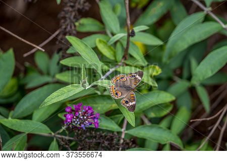 Colorful Common Buckeye Butterfly Sitting On The Branch Of A Butterfly Bush With Opened Wings Displa