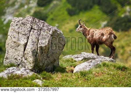 Majestic Tatra Chamois Standing On The Rock In Summer